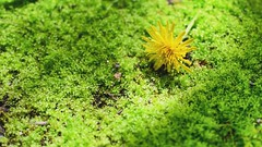 Green moss (vinnie saxon) Tags: yellow nikon nikoniste macro dandelion nature grass green moss flower
