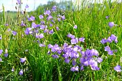 Fleurs de fossé (alainlecroquant) Tags: coteauxdesaintpédebigorre saintpédebigorre coteaux abbatiale palombière randonnée hautespyrénées vaches lavoir ferme cheval vtt fleurs