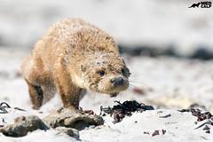 The Beachcomber (birdtracker) Tags: otter scotland beach shore sand mull running markmedcalf markmedcalfphotography canoneflens nature wildlife