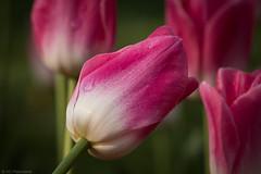 Acquiescence (Anthony P26) Tags: category eskisehir flickrpost flora places turkey yunusemrecampus tulip tulips petals stem pink canon70d canon sigma105mmmacro macrodreams macro closeup bokeh narrowdepthoffield depthoffield dof narrowdof outdoor plant plants planting garden