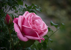 Pink satin!! (Good Nature One) Tags: pinksatin flower macro nature bloom rose pink red bud green