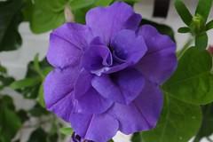 Petunie (Gartenzauber) Tags: blume blau makro natur garten sommer sony blüte petunie floralfantasy alittlebeauty coth coth5