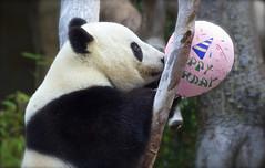 Happy 5th Birthday Xiao Liwu! (Rita Petita) Tags: explore xiao sandiegozoo sandiego california china panda giantpanda