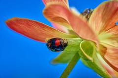 caché en dessous (rondoudou87) Tags: pentax k1 macro color couleur close closer flower fleur bleu blue jardin garden coccinelle ladybug