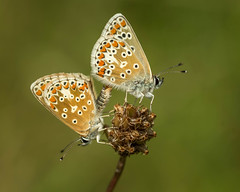 Brown Argus.aricia agestis. (trevorwilson1607) Tags: brownargus ariciaagestis butterfly macro insect mating blue outdoors fresh denbies denbieshillside nationaltrust chalk morning olympus em5mk2 60mm 320thsec 200iso f56 handheld orange brown white pair two summer