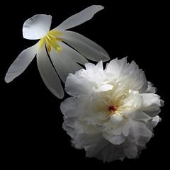 Peony & Tulip (Pixel Fusion) Tags: peony tulip flower flora nature macro nikon d600