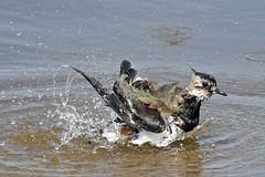 Kiebitz (Vanellus vanellus) (Susanne Weber) Tags: kiebitz vanellus bird birds vogel vögel fugl fugle tier dyr animal baden wasser nordsee vibe birdwatcher