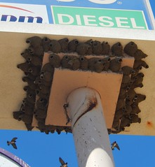 Swallow's nests on a gas station sign! (Ruby 2417) Tags: cliff swallow nests gas station sign winters california