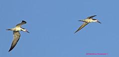 Black Skimmer [Rynchops Niger] (rumerbob) Tags: blackskimmer skimmer waterbird wildlife shorebird nature naturewatcher oceancitynj bird birdwatching birdwatcher canon7dmarkii canon100400mmlens
