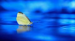 Sliding, waiting for the wave - Aspettando l'onda perfetta (José Miguel Atienza) Tags: greatwhitecabbagebutterfly♀ pierisbrassicae cabbagewhitefemale greatwhitecabbagebutterfly cabbagewhite mariposadelacol bigwhite mariposa butterfly papillon farfalla schmetterling borboleta فراشة papallona 蝴蝶 πεταλούδα 蝶פרפר तितली бабочка arthtropoda insecta lepidoptera glossata heteroneura ditrysia rhopalocera pieridae pieris pbrassicae blanco white blanc weis bianco λευκό amarillo yellow jaune gelb giallo κίτρινοσ negro black deepblue blue azul surf surfing wave waves noir schwarz nero μαύρο españa spain espagne spanien spagna σπάνια madrid josémiguelatienza atienzamatilla josemiguelatienza atienzamatillajosémiguel josémiguelatienzamatilla josemiguelatienzamatilla canoneos5dmarkii canon 5dmarkii canon5dmarkii canon5dii