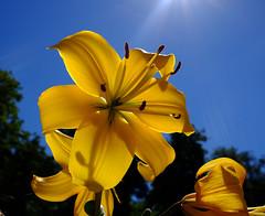 Yellow lily at noon (wojciech kulak) Tags: yellow lily noon nature sky bialystok