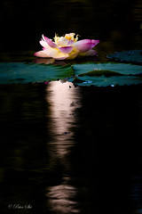 Lotus with Light from Heaven (Peter Shi (石头)) Tags: lotusflower light