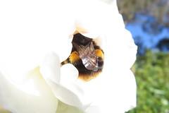 And finally ... Pt.3. The best Bumble Bum! (Explored-ish) (Snorkle-suz) Tags: bumble bee flower closeup newzealand nz aotearoa canonpowershotsx700hs bumblebee wings yellowandblack nature outside macro