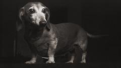 Caffenol trial (Marm O. Set) Tags: dog dogportrait pet petportrait dachshund doxie weinerdog studio strobe strobes strobist flash flashes softbox boom bare offcameraflash offcamera ocf lighting olympus olympus35rd 35rd 40mm 40mmf17 f8 strobistonfilm kentmere kentmerefilm kentmere400 caffenol developer darkroom wet wetdarkroom canon canoscan canoscan9000f canoscan9000 canoscan9000fmarkii scanner filmscan filmstrobist film 35mm 35mmfilm 35mmblackandwhite blackandwhite blackandwhitefilm monochrome analog analogue yongnuo yongnuoyn560iii yongnuoyn560tx transmitter transceivers