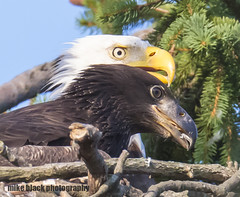 Bald Eagle and Eaglet NJ shore Canon 5DSR (Mike Black photography) Tags: bald eagle bird eaglet nature sky canon 5dsr 800mm lens body usm l big year birdwatching nj new jersey shore mike black july 2017