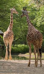 Giraffes (Lena and Igor) Tags: travel america us usa unitedstates illinois brookfield zoo animals giraffe sunlit microfourthirds mft panasonic lumix gx85 tamron 14150