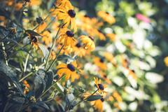 July 12, 2017 (kelly ishmael) Tags: blackeyedsusan flowers garden morning summer