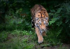 auf leisen Pfoten (sigridspringer) Tags: natur tiere raubtiere groskatzen sibirischertiger säugetiere arila duisburgerzoo tochter von dasha tigerzwillinge