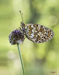 Mariajo (gatomotero) Tags: olympusomdem1 mzuiko60 butterfly mariposa macrofield ambiente colores primavera aliste rabanales zamora 2017