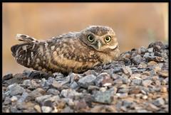 Burrowing Owlet Resting (Lee_Marcus) Tags: owl owlet owlchick owlbaby owlfledgling burrowingowl burrowingowlet athenecunicularia birdofprey raptor