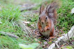 IMG_7483 (Laima B.) Tags: red squirrel animals widllife goteborg gothenburg sweden swedishnature sverige sverigesnatur canon canon600d forest outdoors