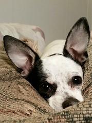 Chihuahua puppy. (im thinking outloud) Tags: dog blackandwhitepuppy puppy puppydogeyes littledog animal pet ears cute adorable imthinkingoutloud