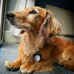 SquirrelWatch (35mmMan) Tags: cookie minidachshund sausagedog dachshund hound shadedred longhaired wiener doxie