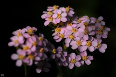 DSC_0177 (cintia scola) Tags: cíntiascola nikond300 summer2017 wildflowers