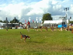 Cheshire Hounds (Wildlife Terry) Tags: nantwich show internationalcheeseawards cheshire countrysidepursuitspastimes british heritage skills crafts cheshirecountryside cheshireamateurphotographer hounds beagles foxhounds