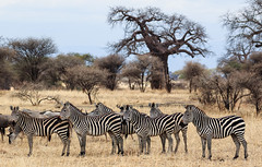 An Attentive Line-Up (AnyMotion) Tags: plainszebra steppenzebra equusquagga striped gestreift baobab affenbrotbaum tree baum adansoniadigitata 2015 anymotion tarangirenationalpark tanzania tansania africa afrika travel reisen animal animals tiere nature natur wildlife 7d2 canoneos7dmarkii landscape landschaft landschafsaufnahmen