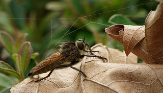 Robberfly on a leaf