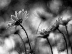 daisies dusk bw 6996 (DannyBurkPhotography) Tags: bw blackandwhite bokeh focus soft blur zeiss planar daisy composite dusk garden flower summer planar5014ze