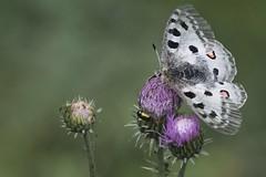 Parnassius apollo (F) (Fred Scoffier) Tags: animal apollon papilionidae papillondejour parnassiinae parnassiusapollolinnaeus1758 rhopalocères
