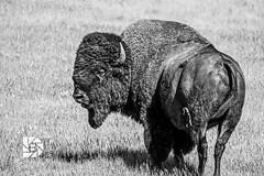 King of The Herd-Bison Bull #347 (DBruner240) Tags: bison bull buffalo south dakota sd custer state park black white bw