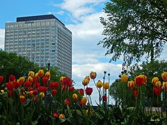 Tulipanes en Québec (Sam G. Paz) Tags: samgpaz tulipanes flores québec canadá paisajeurbano 170607