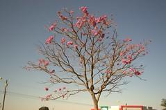 Jataí, Goiás, Brasil (Proflázaro) Tags: brasil goiás jataí cerrado flor árvore natureza ecologia jardim praça praçadacatedral paisagemurbana céu