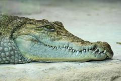 DSC01666 (1) (Fanou84) Tags: crocodile nil reptile animaux animal nature