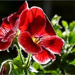 Pelargonium #2 thumbnail
