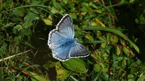 Chalkhill Blue (m)
