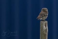 little owl (Bart Hardorff) Tags: 2017 barthardorff herwijnen juli littleowl owl steenuil uil athenenoctua roofvogel container blue blauw