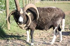 Jacob ram (TamsinCooper@OrchardPigeon) Tags: sheep ewes lambs suffolk jacob