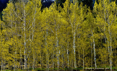 JM_RockyMT_05_31_17_47 (HarrySchue) Tags: nationalparks rockymtnationalpark trees aspens estes park colorado nps nikon nature d800e rrs