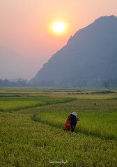 On the rice field (langthangdaydo) Tags: rice ricefield field fields mountain mountains sunshine sunset sunlight sun afternoon people green grass yellow hill terraced terraces color colorful summer travel living season paddy explorer vietnam asia live bush landscape outdoor nature daily life terrace