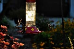 Dawn Duel (jeffreyw) Tags: hummingbirds feeders rubythroats duelingbirds dawnsearlylight