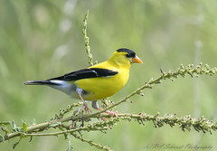 American Goldfinch (Ruthie Kansas) Tags: