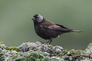 Gray-crowned Rosy-Finch - Pribilof Islands Race