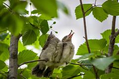 20170610-IMGP9105.jpg (Yunhyok Choi) Tags: feather beak tree nature brownearedbulbul wing nest summer bird wildlife fledgling animal hwaseongsi gyeonggido southkorea
