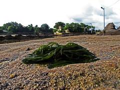 Marea baja / Low tide en Santa Cruz de Lians (Rafa Gallegos) Tags: galicia santacruzdelians santacruz acoruña españa spain oleiros playa beach mareabaja lowtide costa mar sea arena beachsand alga algas seaweed naturaleza nature