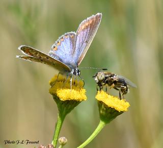 L' azuré bleu céleste butine et l'abeille 🐝aussi...😏