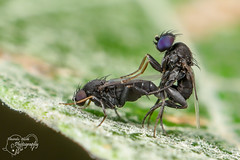 Flies in Love (Amanda Blom Photography) Tags: flies fly vlieg vliegen macro macrophotography macrophoto macroworld nature natuur naturelover naturephotographer naturepicture naturephoto natureptohography natuurfoto naturephotography naturelove insect insects canon groen green